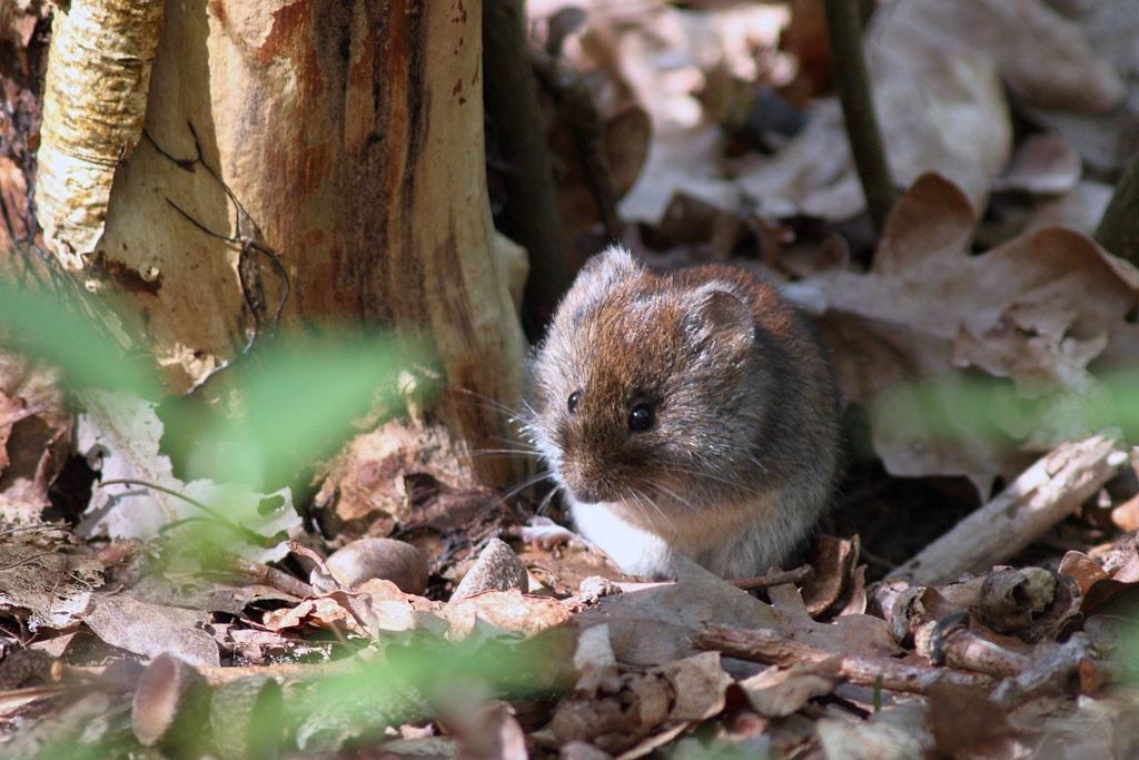 Rosse woelmuis - Berkheide, kavel 14, Panbos - 22 april 2019 - Ed Schouten