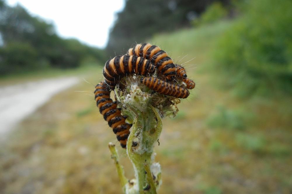 Sint-Jacobsvlinder, rupsen - Berkheide - 2014 - Joop de Leeuw