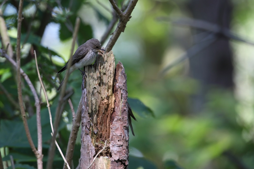 Grauwe vliegenvanger, nest in opbouw, kavel 2, 29 mei 2021, Ed Schouten